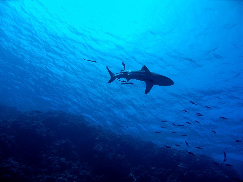 shark-2683184_960_720