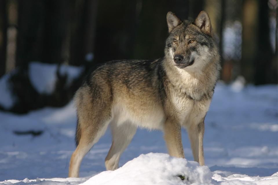 wolf-725388_960_720